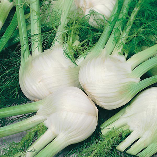 Fennel Competition