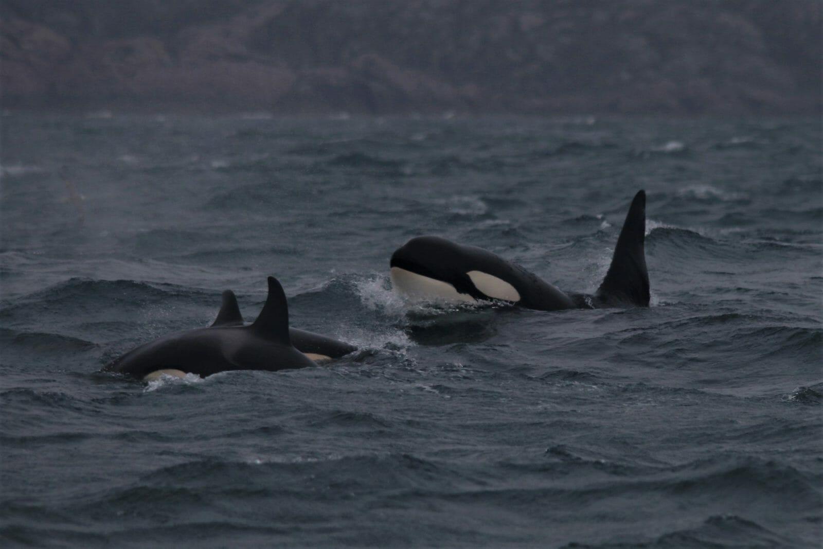 Mystery killer whale pod