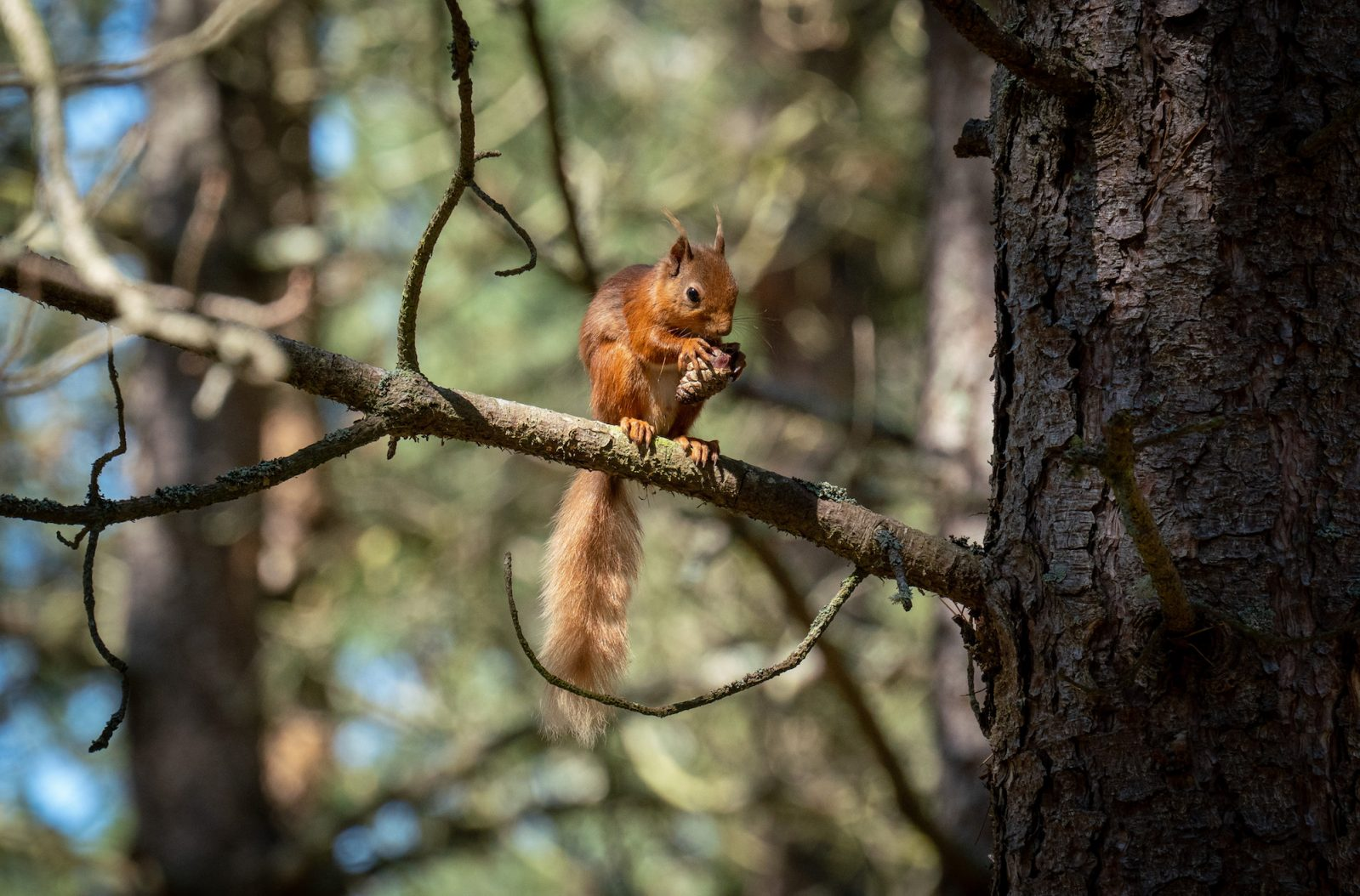 red squirrel sightings