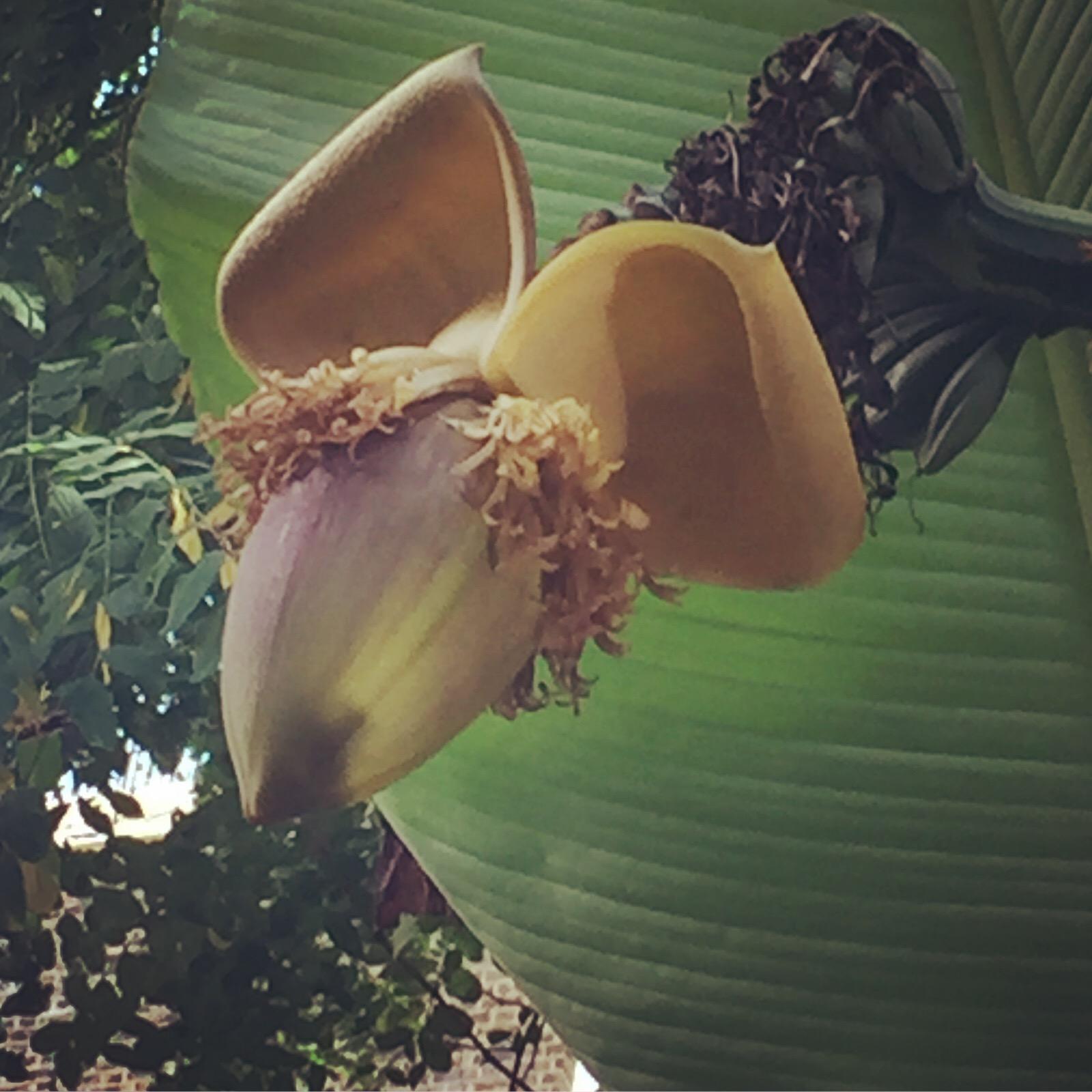 UK bananas